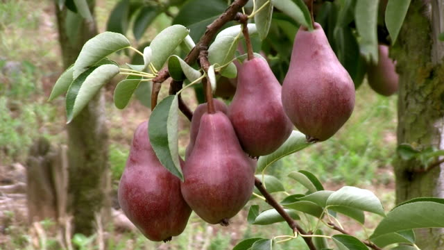 cu group of pears at tree / serrig, rhineland-palatinate, germany - five objects stock videos & royalty-free footage