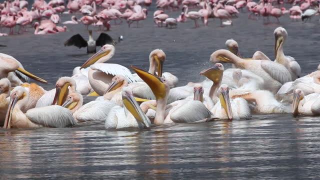 MS Group of pelecanus onocrotalus having bath at nakuru lake / National Park, Africa, Kenya