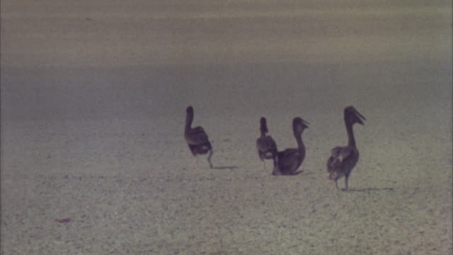 ws group of pelican wandering around on hot desert - anno 1981 video stock e b–roll