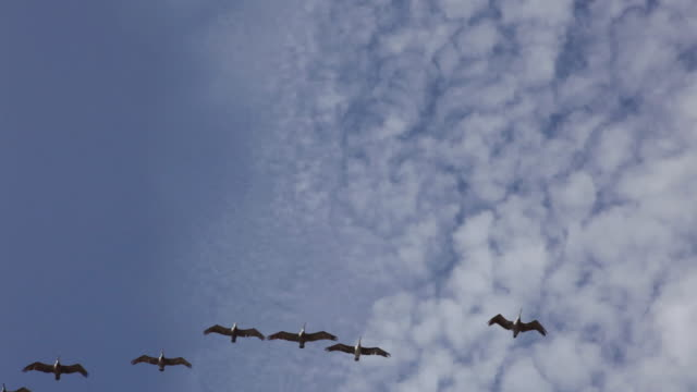 vídeos de stock, filmes e b-roll de ms ts group of pelicans flying in formation overhead / cambria, california, united states - birds flying in v formation