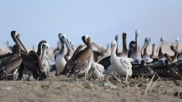 group of pelicans - pelican stock videos & royalty-free footage