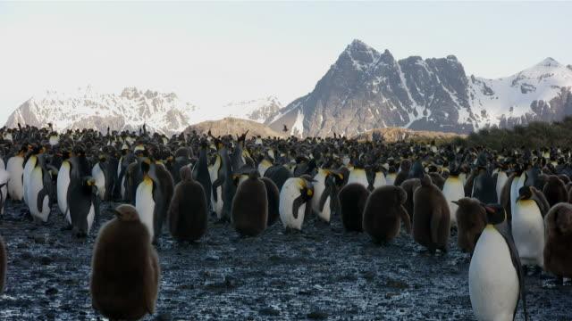 vídeos y material grabado en eventos de stock de ms group of penguins and juveniles at penguin rookery  audio - pingüino cara blanca