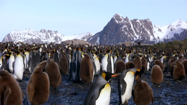 ms group of penguins and juveniles at penguin rookery  audio - royal penguin stock videos & royalty-free footage