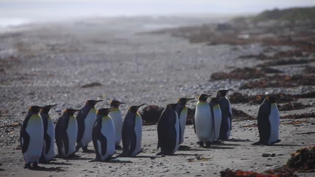vídeos y material grabado en eventos de stock de ms group of penguins standing still and facing same direction / isla grande de tierra del fuego, chilean patagonia, chile - pingüino