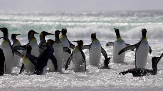 group of penguins walking into the surf - large group of animals stock videos & royalty-free footage