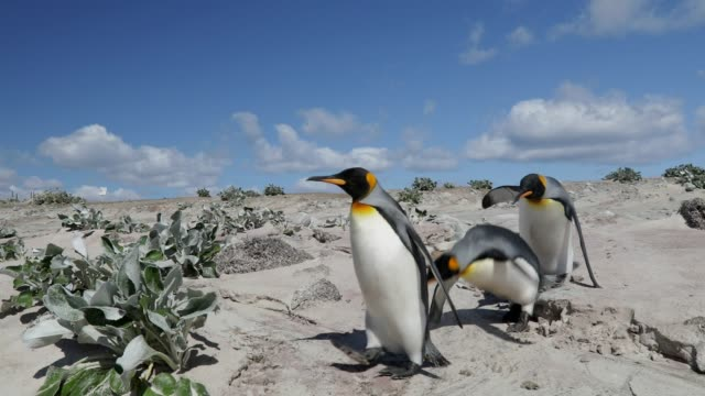 group of penguins walking on a sandy beach - falling stock videos & royalty-free footage