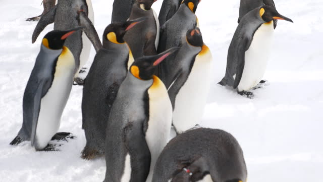group of penguins walking - waddling stock videos and b-roll footage