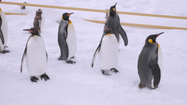 vidéos et rushes de groupe de pingouins marchant - glissant