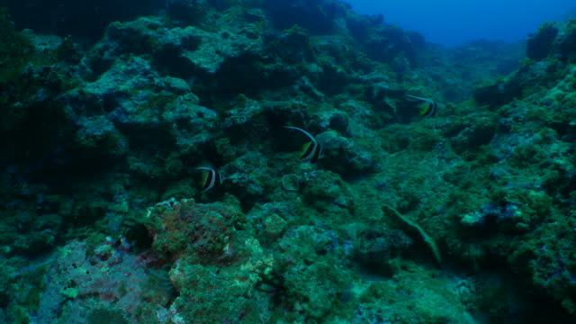 Group of pennant coralfish swimming in coral reef