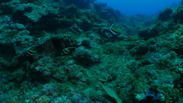 group of pennant coralfish undersea, taiwan - mar stock videos & royalty-free footage