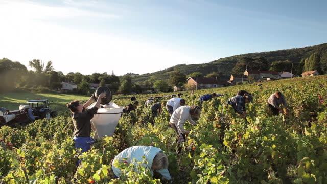 vidéos et rushes de group of people harvesting grapes - récolter