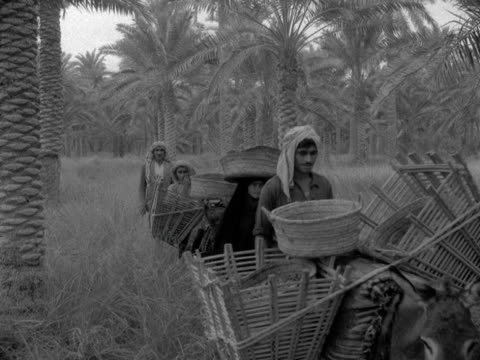 group of people herd donkeys laden with baskets of dates through palm trees a man then tips the collected dates onto a large pile on the ground iraq - iraq stock videos and b-roll footage