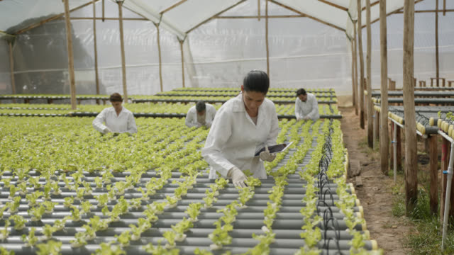 group of people supervising a hydroponic lettuce crop, woman in front also using a tablet - botany stock videos & royalty-free footage