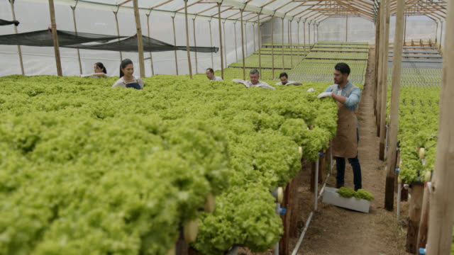 group of people working at a hydroponic lettuce crop very focused - harvesting stock videos & royalty-free footage