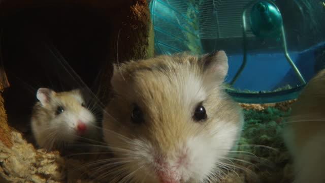 vídeos y material grabado en eventos de stock de group of pet dwarf hamsters come very close to lens - hamster