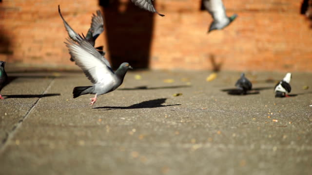 Group of Pigeon on the walking street in city scape.