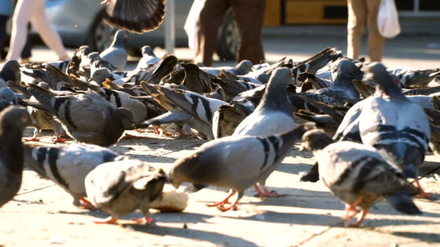 group of pigeons are feeding - cartoon p stock videos & royalty-free footage