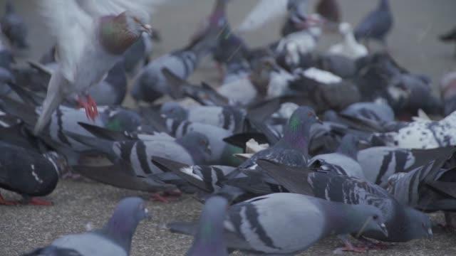 vídeos de stock e filmes b-roll de a group of pigeons eating food - bando de pássaros