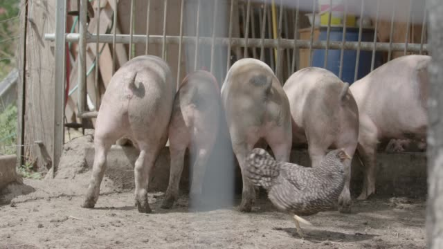 group of pigs eating / organic farm - livestock stock videos and b-roll footage