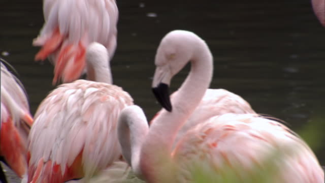 ms td pan group of pink flamingos resting and preening themselves at zoo / chicago, illinois, united states - auf einem bein stock-videos und b-roll-filmmaterial
