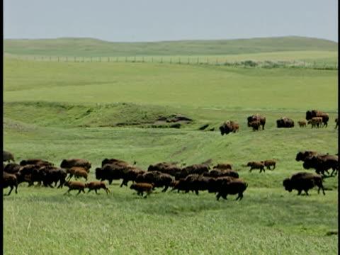 ws, pan, group of plains bison (bison bison bison) running through grassland, alberta, canada - american bison stock videos & royalty-free footage