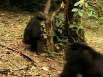 vidéos et rushes de ms, group of playful chimps (pan troglodytes) in forest, gombe stream national park, tanzania - chimpanzé