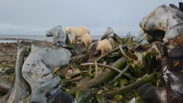 vídeos y material grabado en eventos de stock de group of polar bears on whale bone debris in north pole - ártico