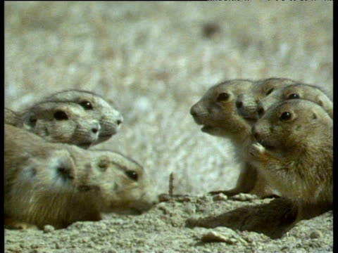 Group of prairie dogs nibbling and nuzzling in a circle. Two appear to kiss