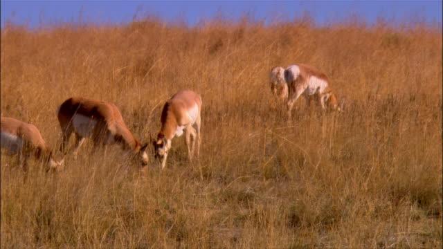 group of pronghorn antelope grazing in field / sheridan, wyoming - pronghorn stock videos & royalty-free footage