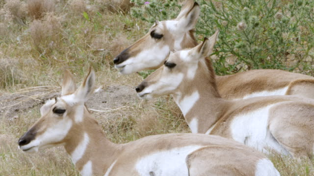 MS Group of pronghorn resting and chewing grass / Wind Cave National Park, South Dakota, United States