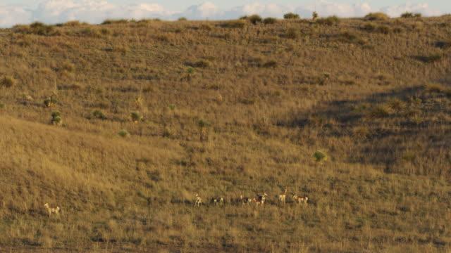 group of pronghorns in grassy area - プロングホーン点の映像素材/bロール
