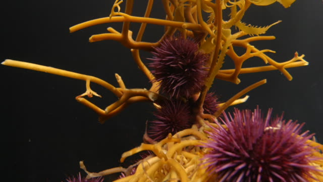A group of purple sea urchins crawl over yellow kelp roots. Available in HD.
