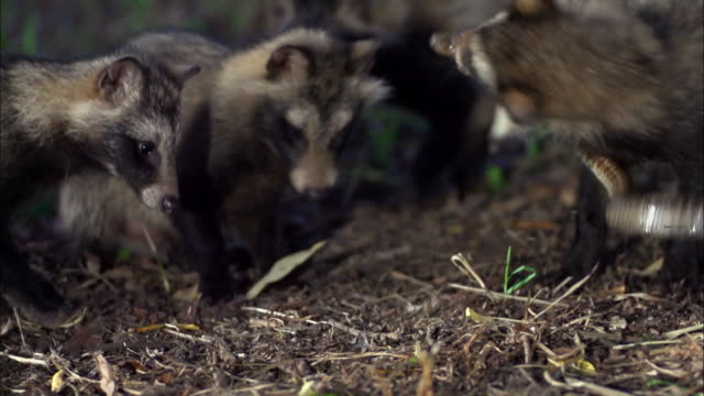 group of raccoon attacking snake - south korea stock videos & royalty-free footage