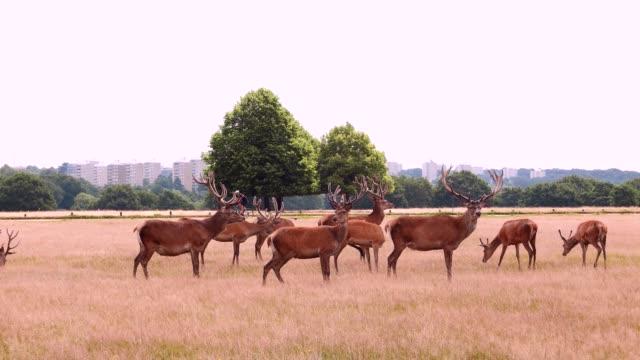 group of red deer in richmond park - antler stock videos & royalty-free footage