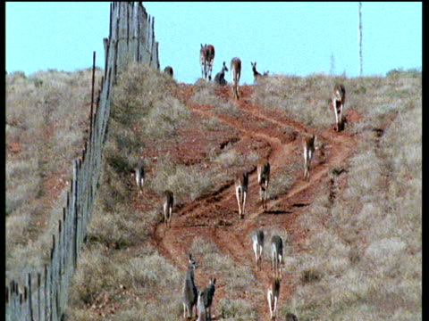 Group of red kangaroos hop along the dog fence (dingo control fence) in Australian outback