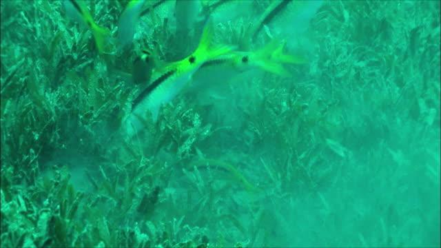 ms group of red sea goatfish feeding (parupeneus forsskali) among sea grass in red sea / sharm-el-sheikh, egypt  - goatfish stock videos & royalty-free footage