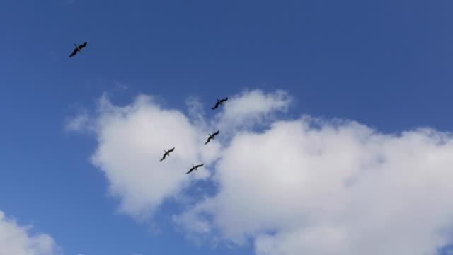vídeos de stock, filmes e b-roll de grupo de atobá vermelho voando no céu - céu claro