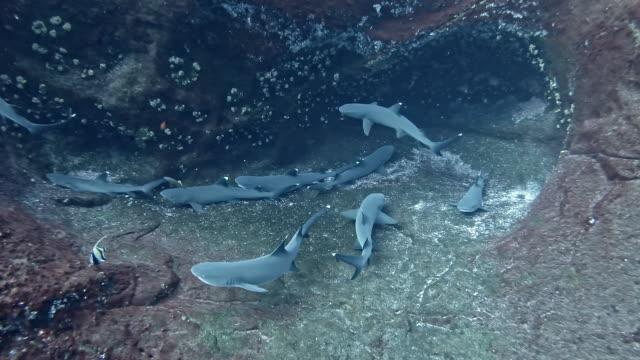 group of resting whitetip reef shark (triaenodon obesus) - whitetip reef shark stock videos & royalty-free footage