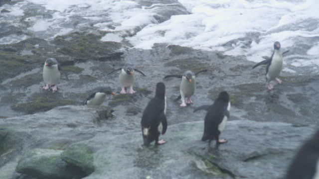 group of rockhopper penguins hop to camera across shoreline rocks and are engulfed in surf - gruppo medio di animali video stock e b–roll
