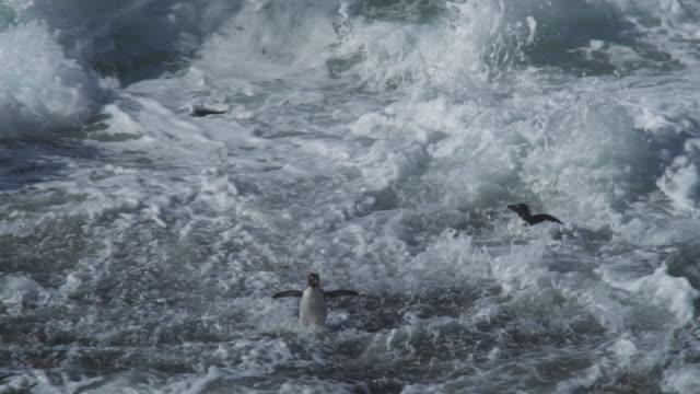 vídeos de stock, filmes e b-roll de group of rockhopper penguins hop to camera and are engulfed in surf - grupo pequeno de animais