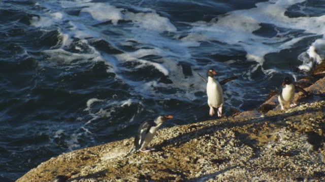 ha group of rockhopper penguins hopping from surf onto rocks on shoreline - gruppo medio di animali video stock e b–roll