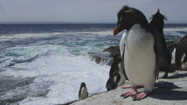 group of rockhopper penguins look out to sea from rock platform very close to camera - mittelgroße tiergruppe stock-videos und b-roll-filmmaterial