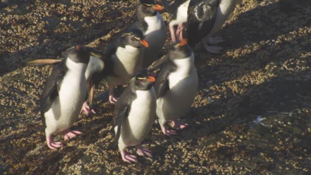 HA CU group of Rockhopper Penguins preening on rocks on shoreline