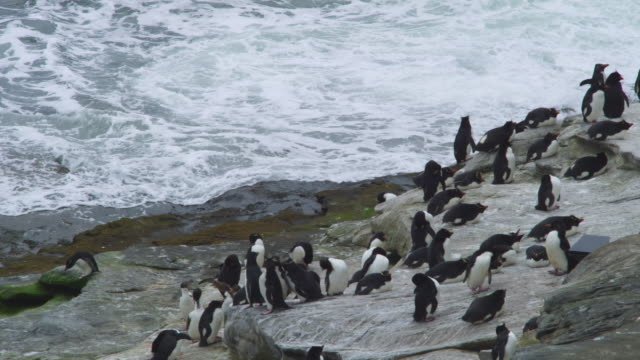 Group of Rockhopper Penguins preening on shoreline rock with sea in background
