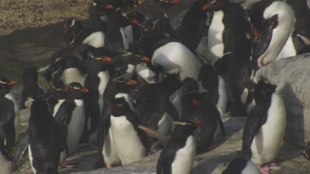 CU group of Rockhopper Penguins preening on shoreline rocks