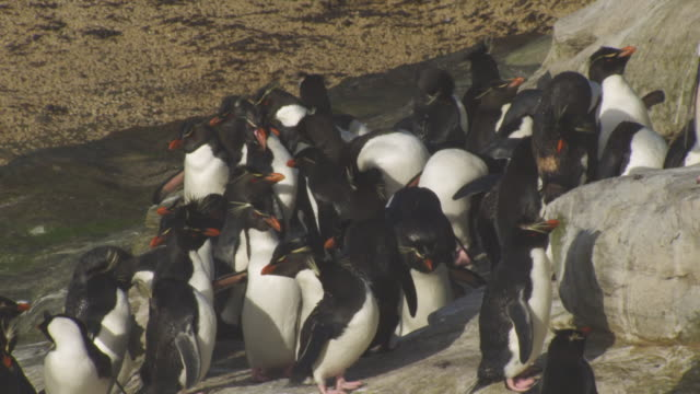 MS group of Rockhopper Penguins preening on shoreline rocks