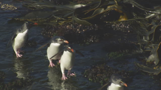 vídeos de stock, filmes e b-roll de ha ms pan group of rockhopper penguins running and jumping on flat rock on shoreline - ilhas do oceano atlântico