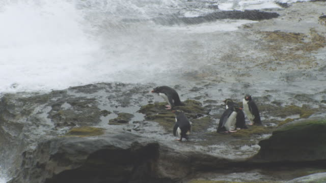 ha group of rockhopper penguins standing in high wind and heavy surf on flat rock on shoreline - surf rock stock videos & royalty-free footage