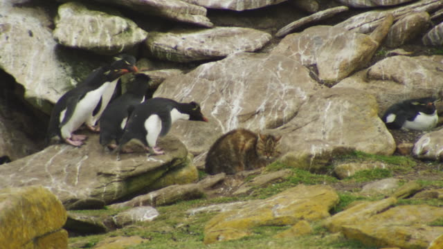 stockvideo's en b-roll-footage met group of rockhopper penguins threaten domestic cat by rock at edge of colony - bedreiging