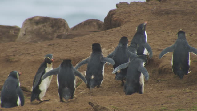Group of Rockhopper Penguins walk away from camera towards sea and look around comically